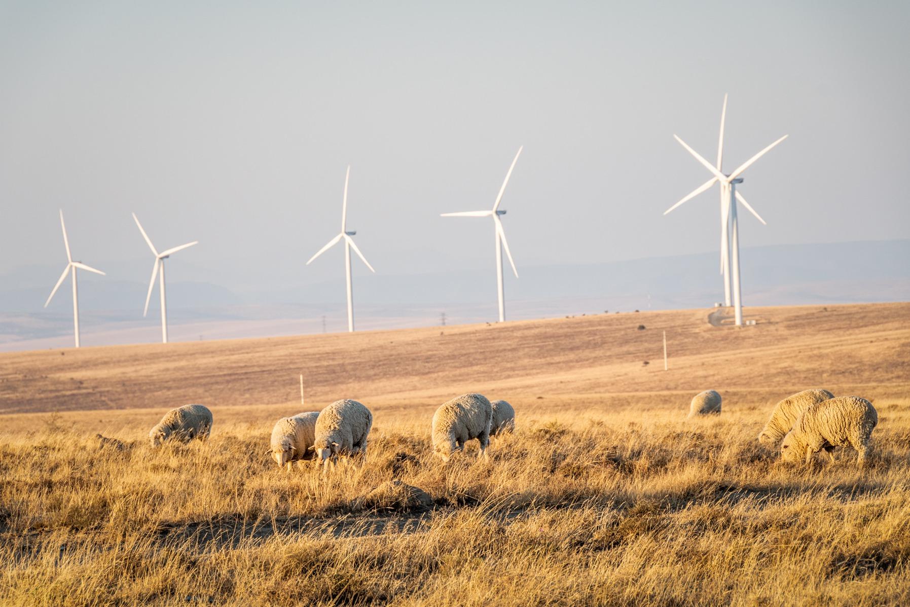 Sheep and Windfarm